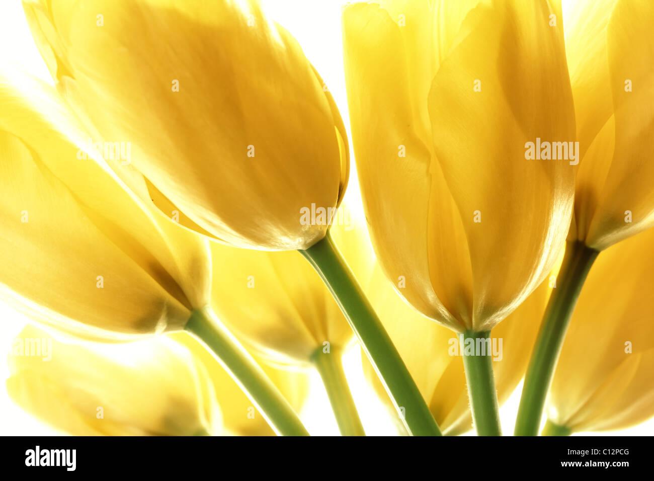 Tulipes jaune isolé sur fond blanc Photo Stock