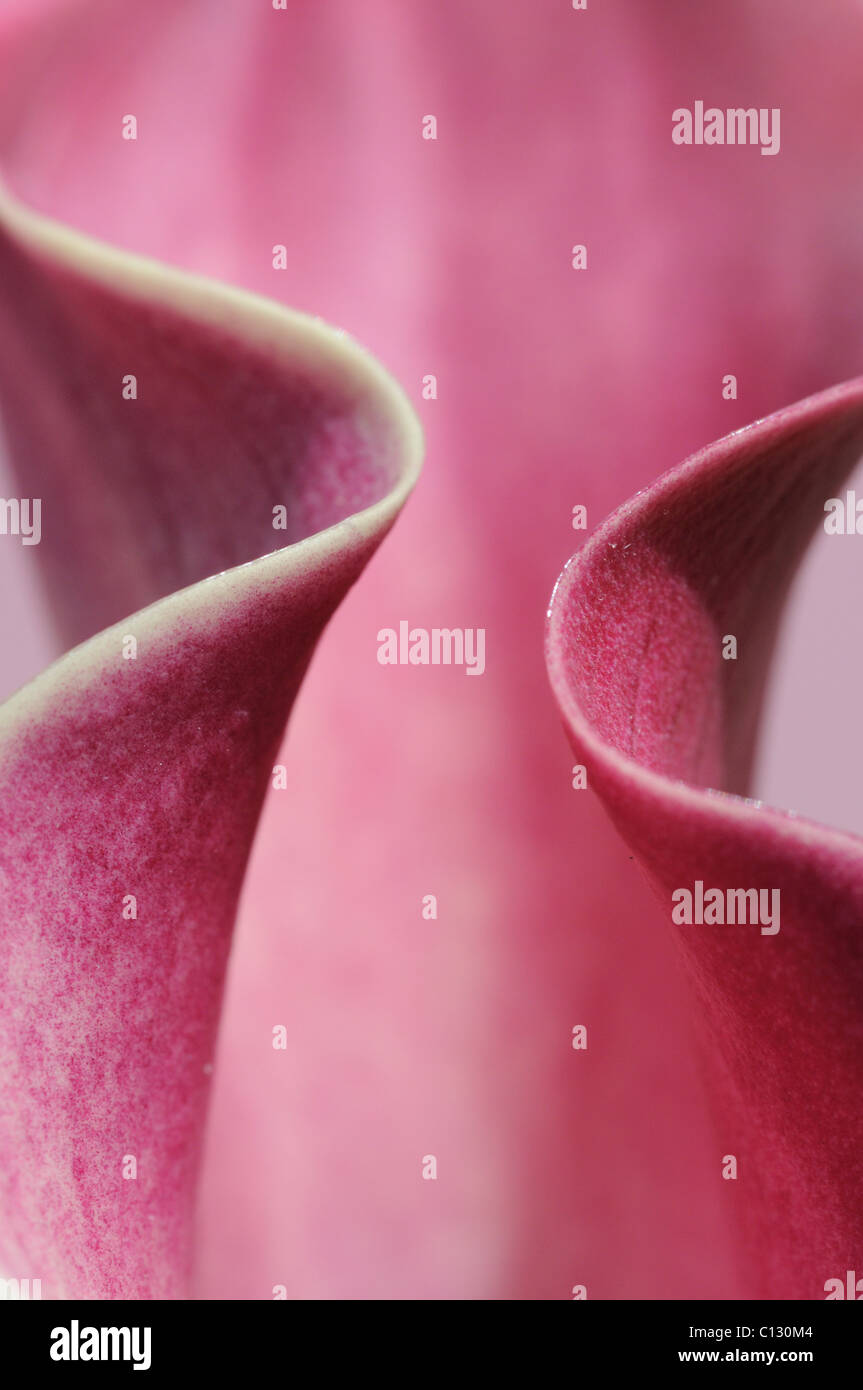 Calla Lily flower close up Photo Stock