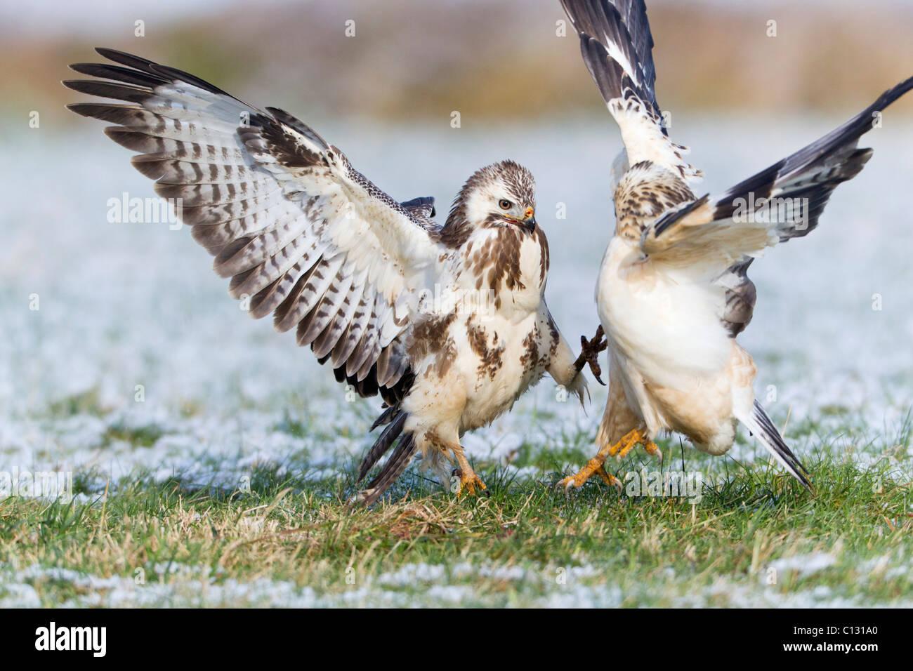 Buse variable (Buteo buteo), deux combats de nourriture en hiver Photo Stock