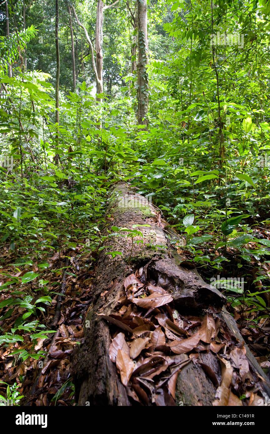 Arbre en décomposition, les feuilles dans les forêts tropicales, la Trinité Photo Stock