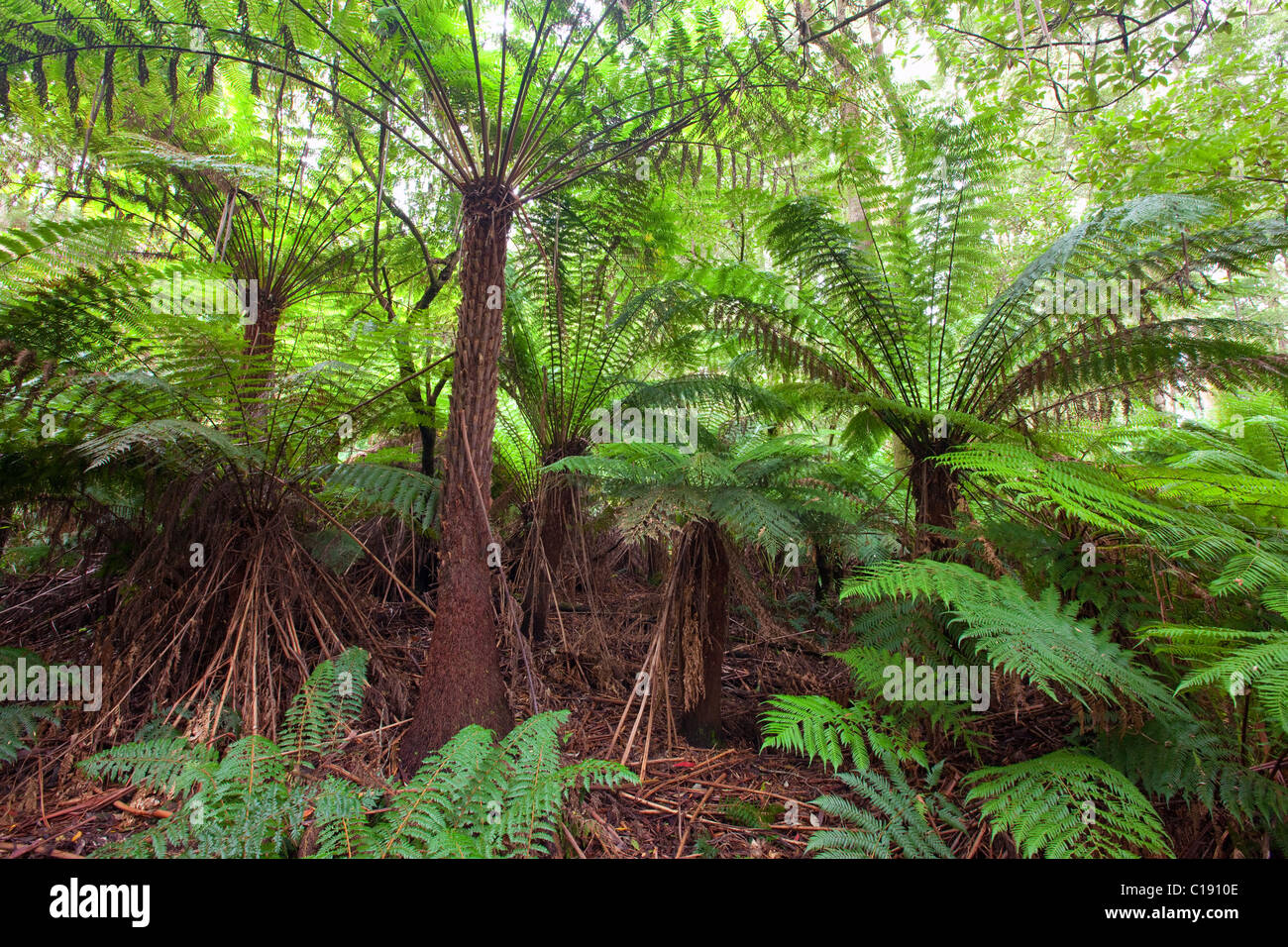 Forêt tropicale, Great Otway National Park, Victoria, Australie Photo Stock
