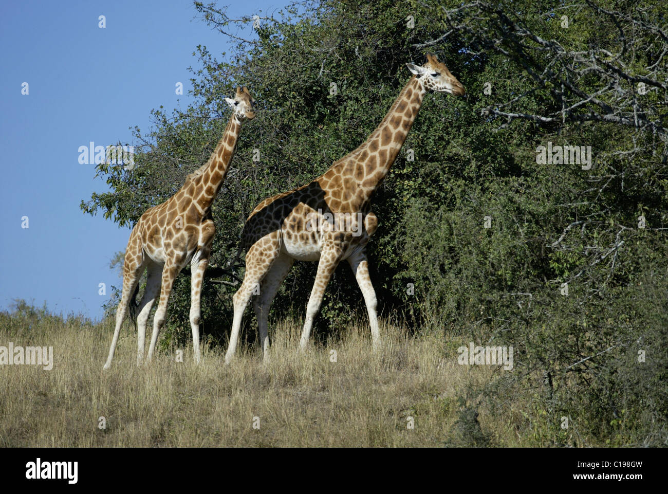 Les Girafes de Rothschild, Baringo girafes de l'Ouganda les girafes (Giraffa camelopardalis rothschildi), adulte, le lac Nakuru, Kenya, Africa Banque D'Images