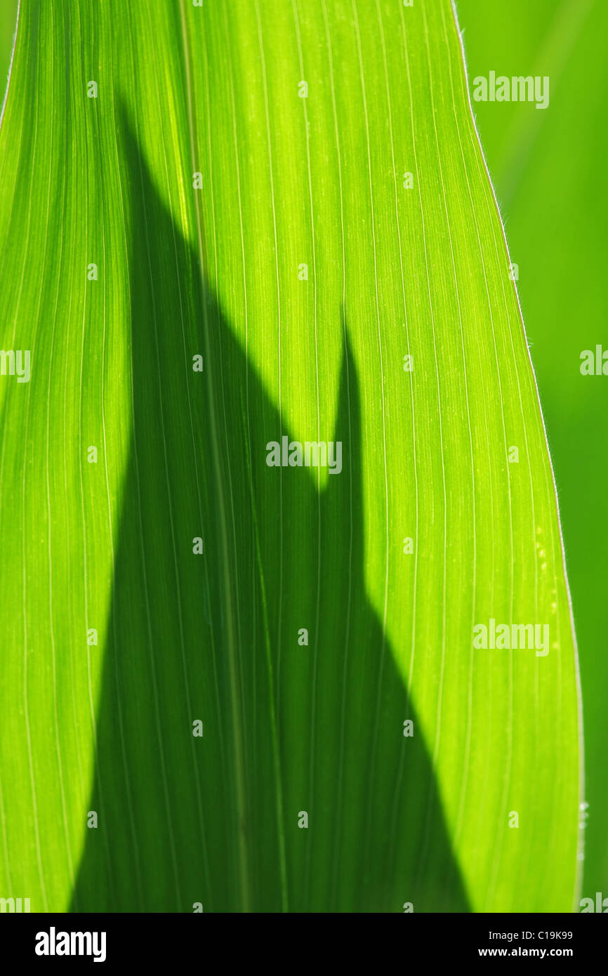 feuilles de maïs Photo Stock