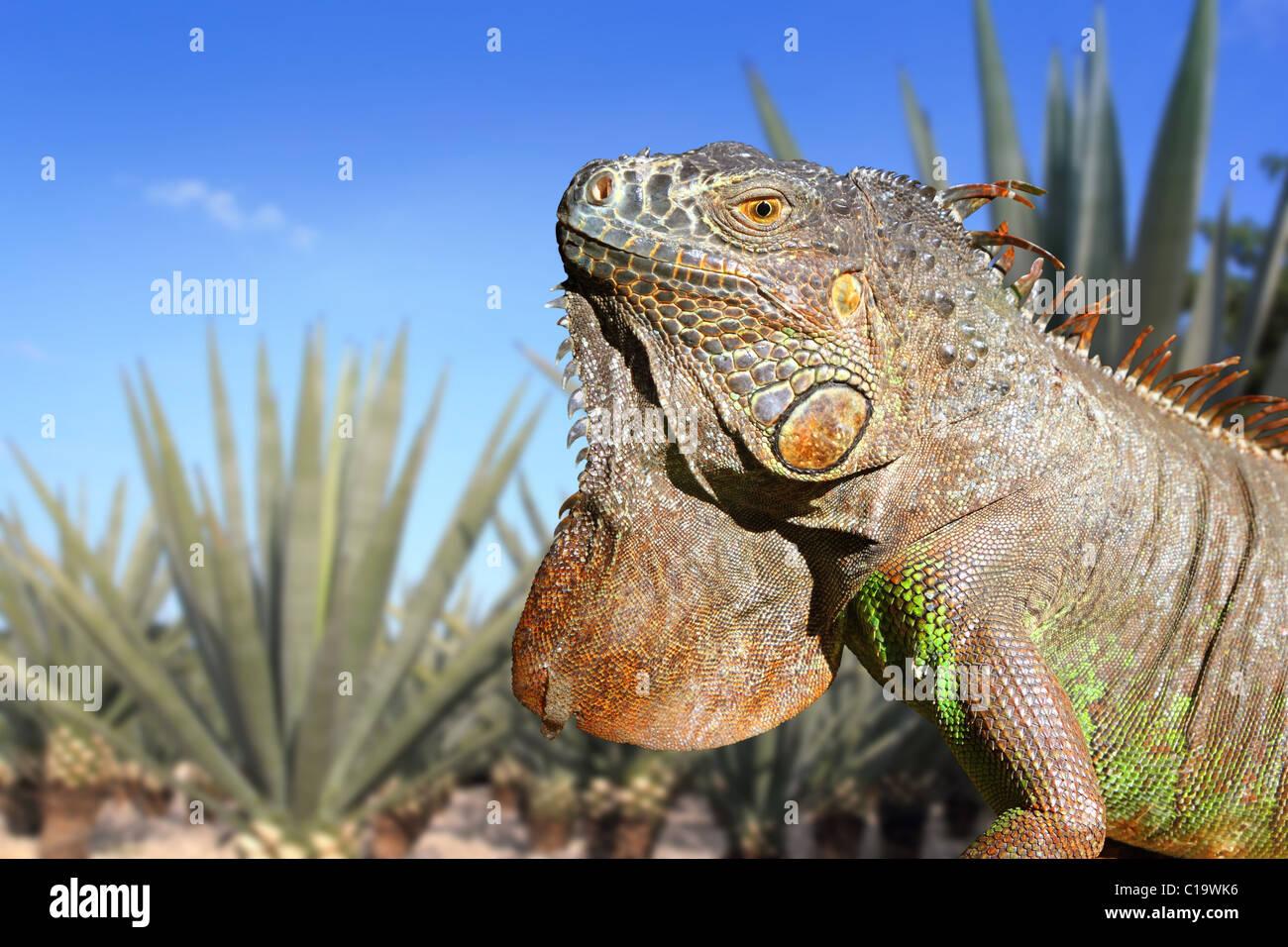 Le Mexique dans l'iguane tequila agave bleu ciel sur le terrain de l'usine Banque D'Images