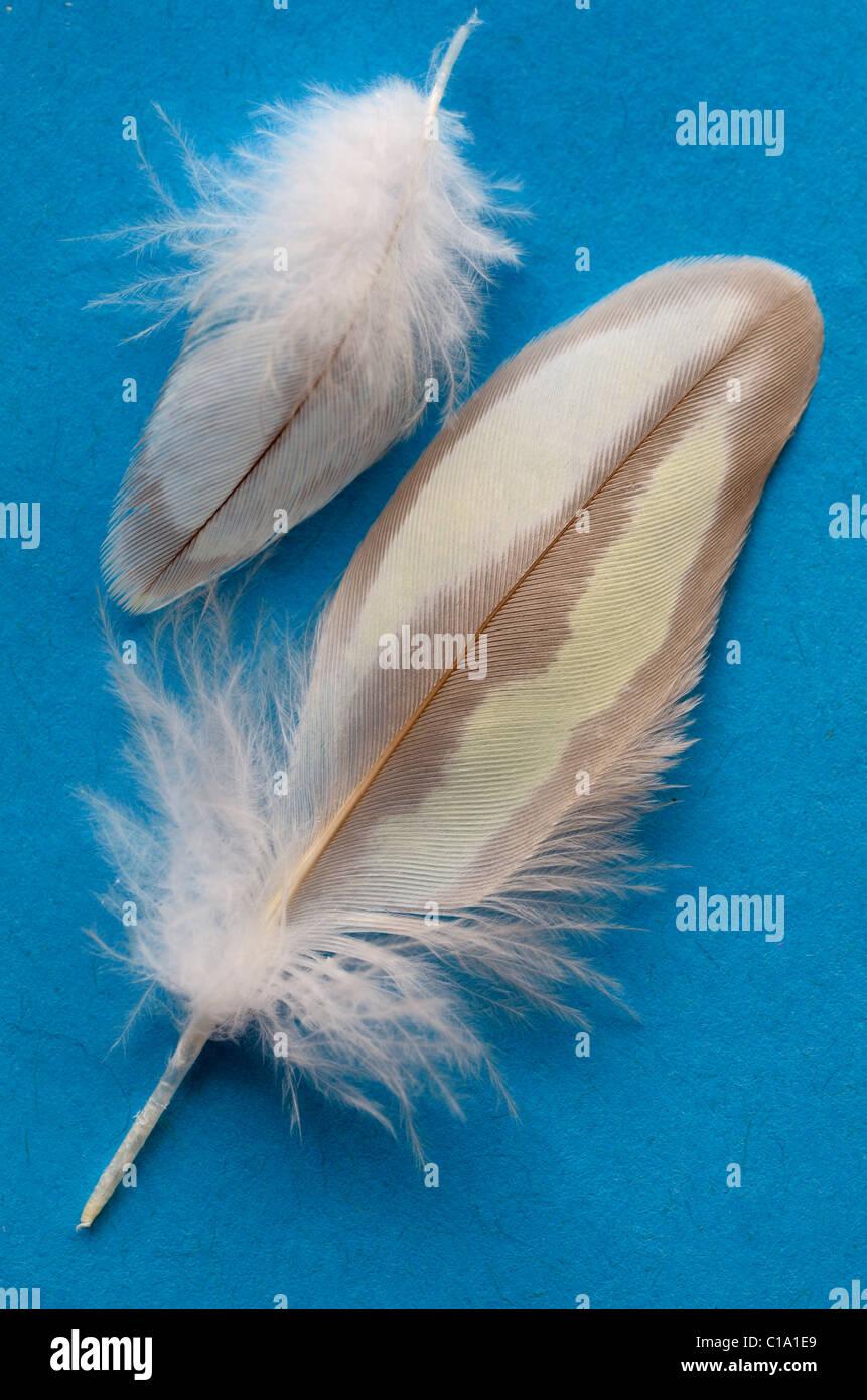 Les plumes de contour d'une femelle en mue pearl cockatiel sur fond bleu Photo Stock
