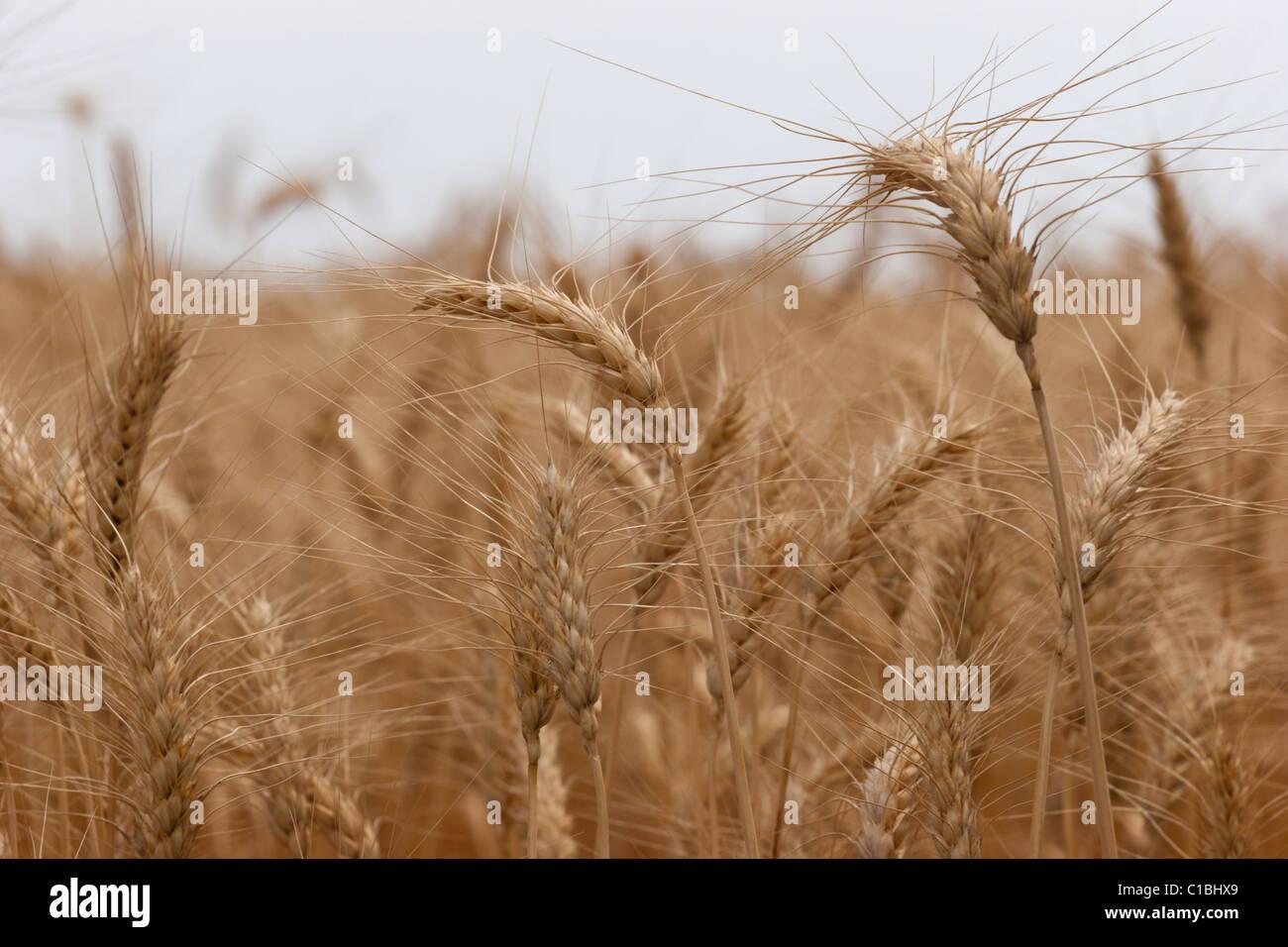 La récolte de céréales céréales blé orge alimentaire récolte agriculture champ Photo Stock