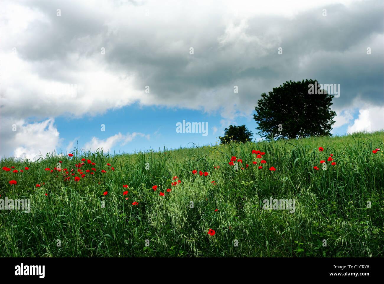 Tempête d'été nuages sur terrain avec fleurs de pavot rouge Photo Stock