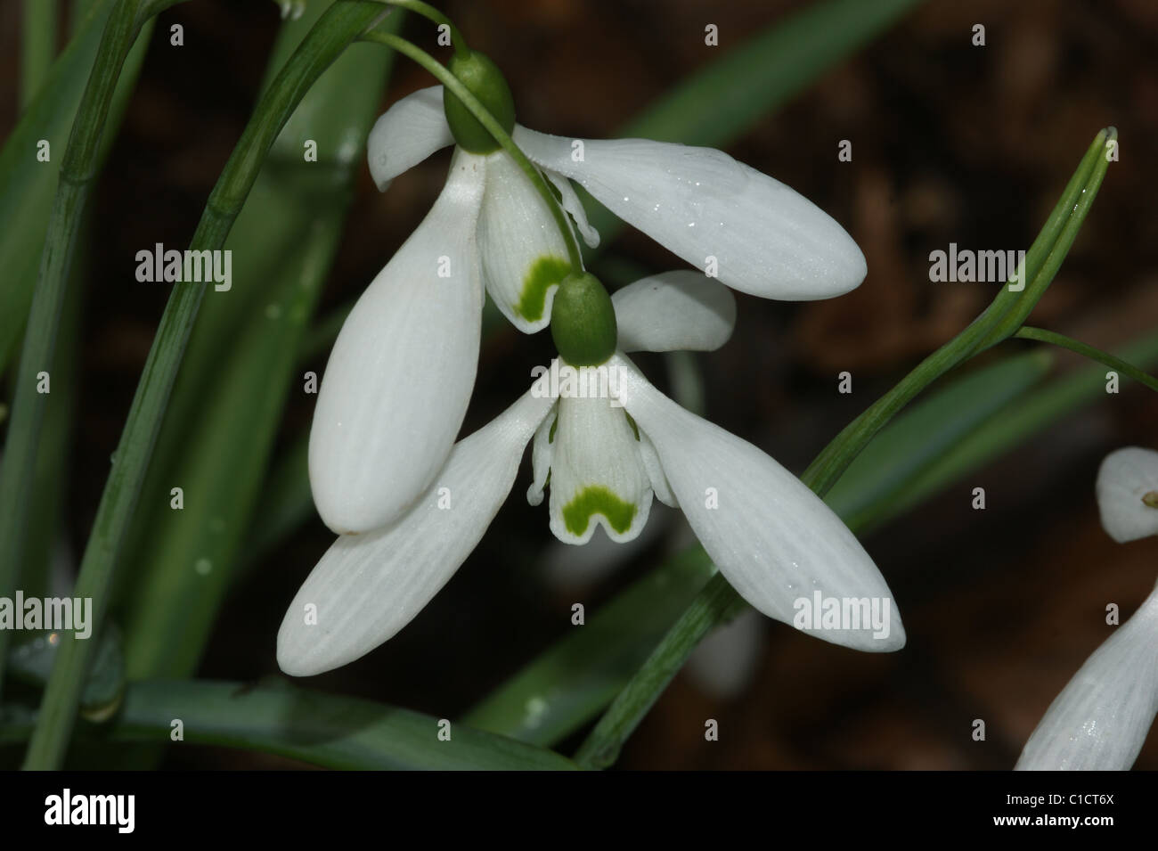 Galanthus 'Magnet' Photo Stock