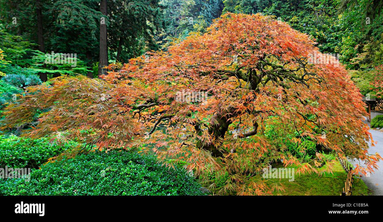 ancienne dentelle rouge japonais érable arbre feuilles en automne