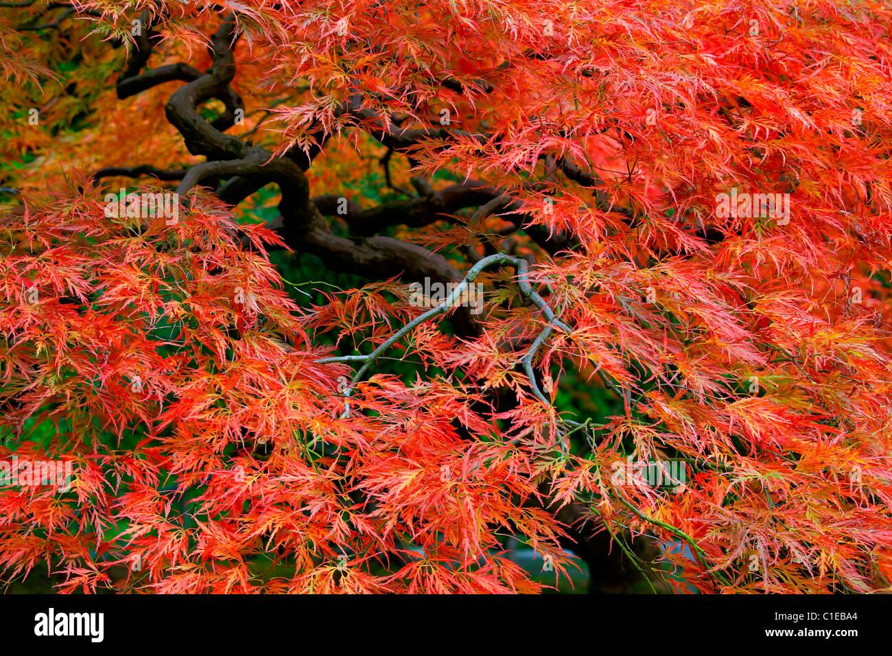ancienne dentelle rouge japonais érable arbre feuilles en automne 3