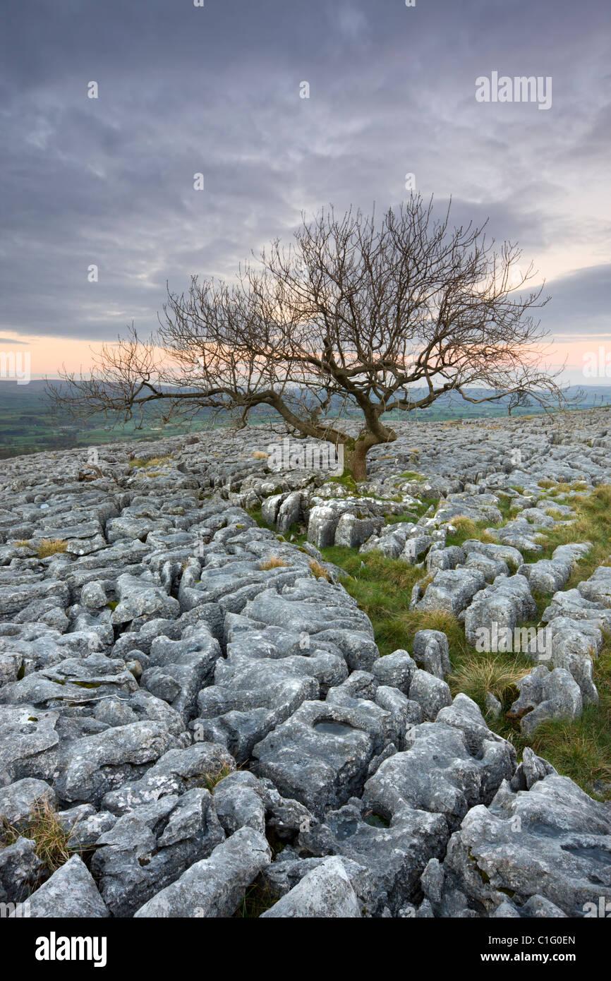 Grâce à la croissance de l'arbre noueux lapiez sur Twistleton cicatrice, Yorkshire Dales National Photo Stock