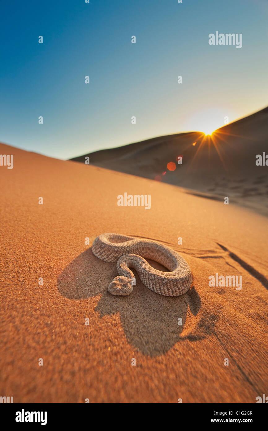 L'additionneur Sidewinder (Bitis peringueyi) est une espèce de vipère venimeuse dans le désert du Namib Banque D'Images