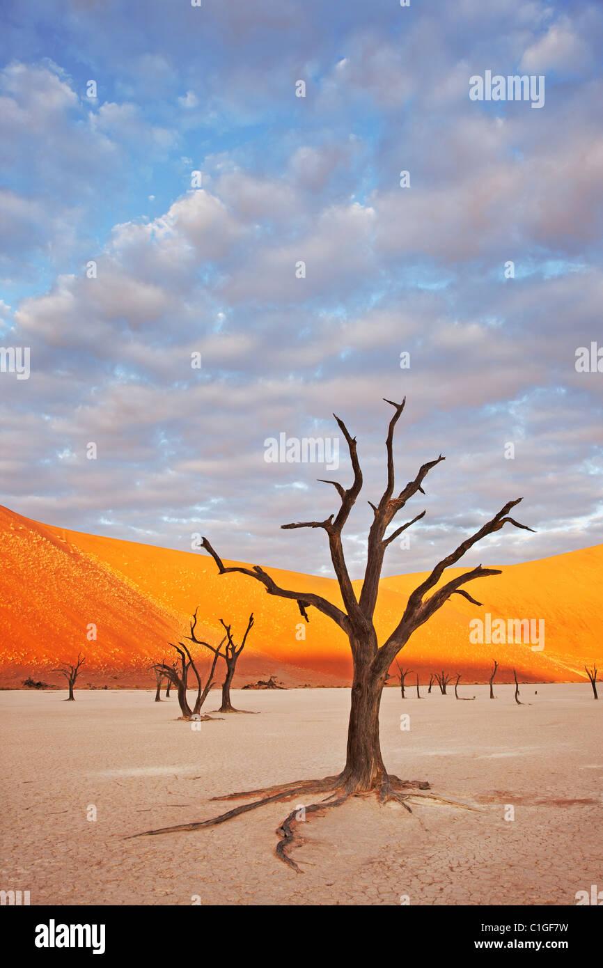 Dead Acacia Sossusvlei dans le désert du Namib. Namib-Naukluft N.P, Namibie Photo Stock
