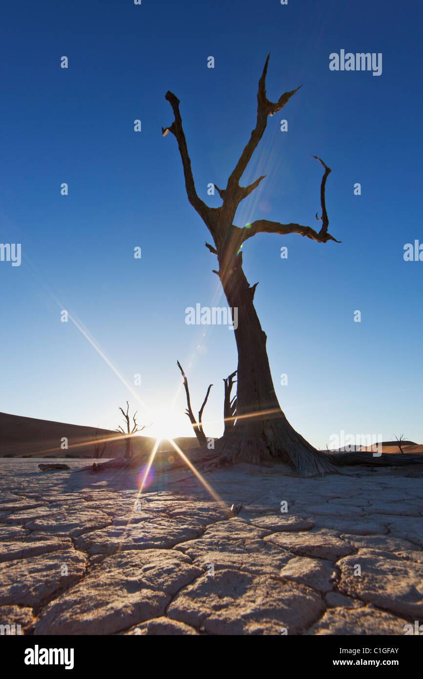 Dead Acacia en silhouette Sossusvlei dans le désert du Namib. Namib-Naukluft N.P, Namibie Photo Stock