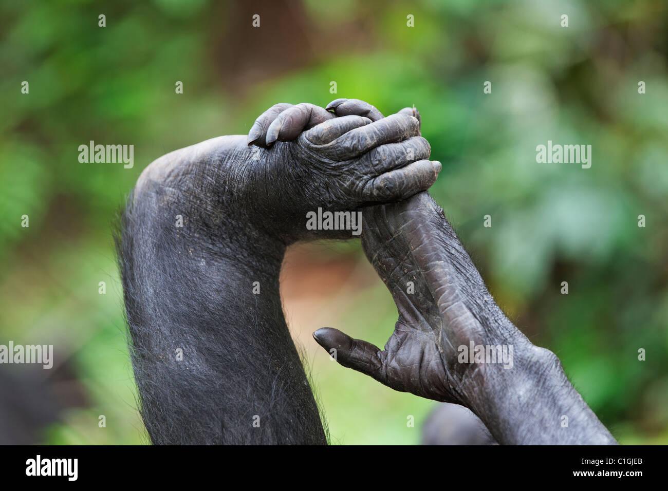 Main et pied de chimpanzé Bonobo au Sanctuaire Lola Ya Bonobo, République démocratique du Congo Banque D'Images