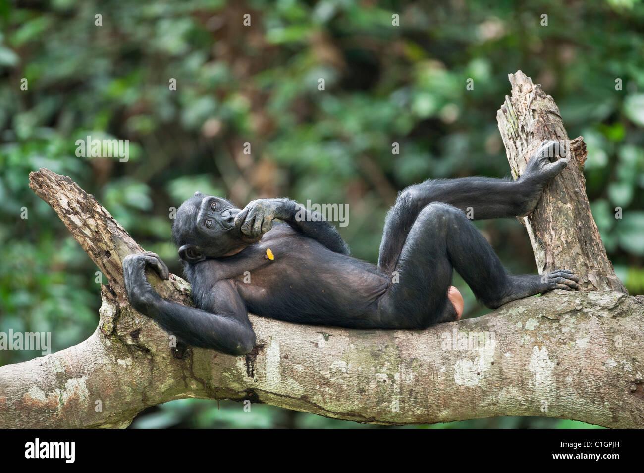 Chimpanzé Bonobo au Sanctuaire Lola Ya Bonobo, République démocratique du Congo Photo Stock