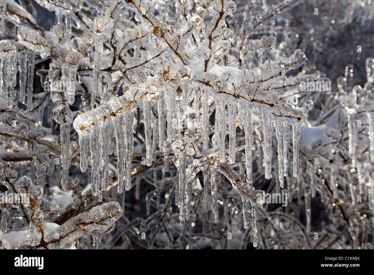 Les branches d'arbres recouvertes de glace et de glaçons après la tempête de l'hiver Photo Stock
