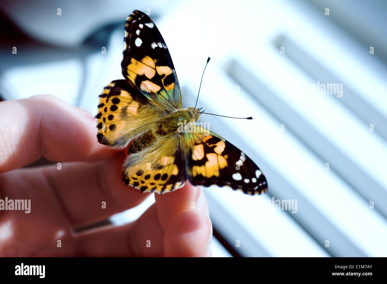 Les papillons d'élevage Photo Stock