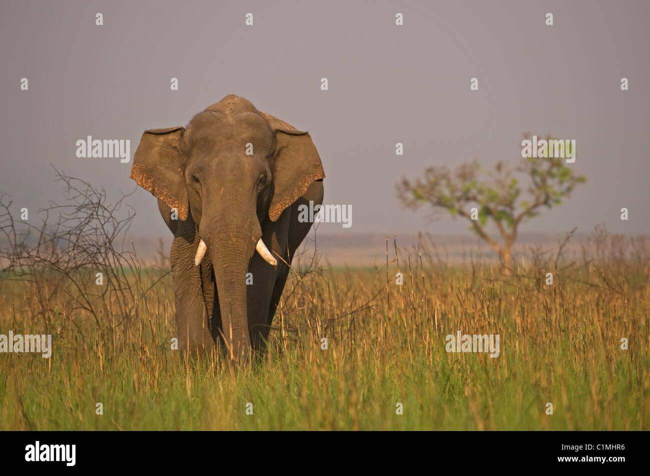 L'éléphant d'Asie Elephas maximus Corbett, Inde Photo Stock