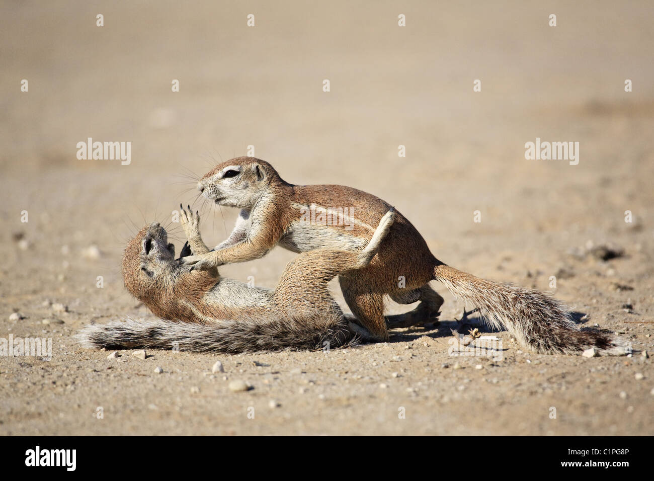 Spermophile africains Photo Stock