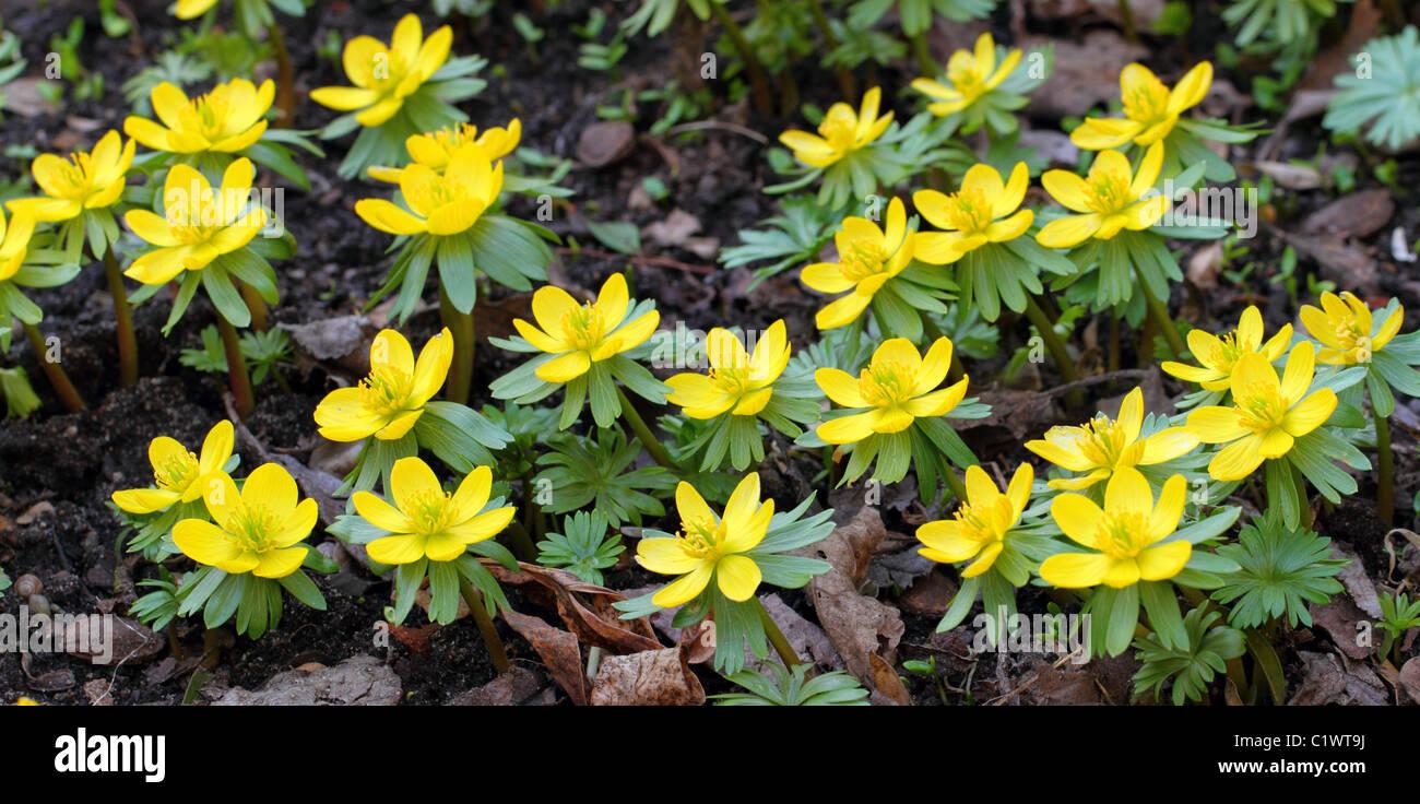 Aconit D Hiver En Fleurs Fleur Fleurs Jaune Aconites Eranthis