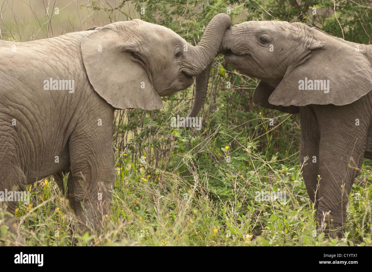 Stock photo de deux bébés éléphants jouant avec leurs troncs. Photo Stock