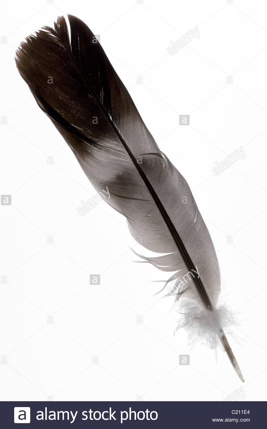 Plume d'oiseau gris et noir Photo Stock