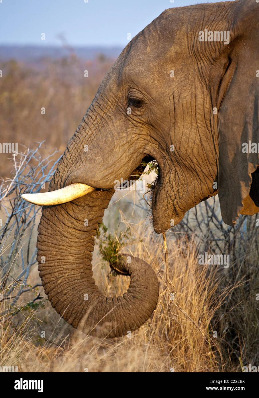 Homme seul Bull l'éléphant d'Afrique, Loxodonta africana mange de l'herbe et des arbres à la fin de la journée au Banque D'Images