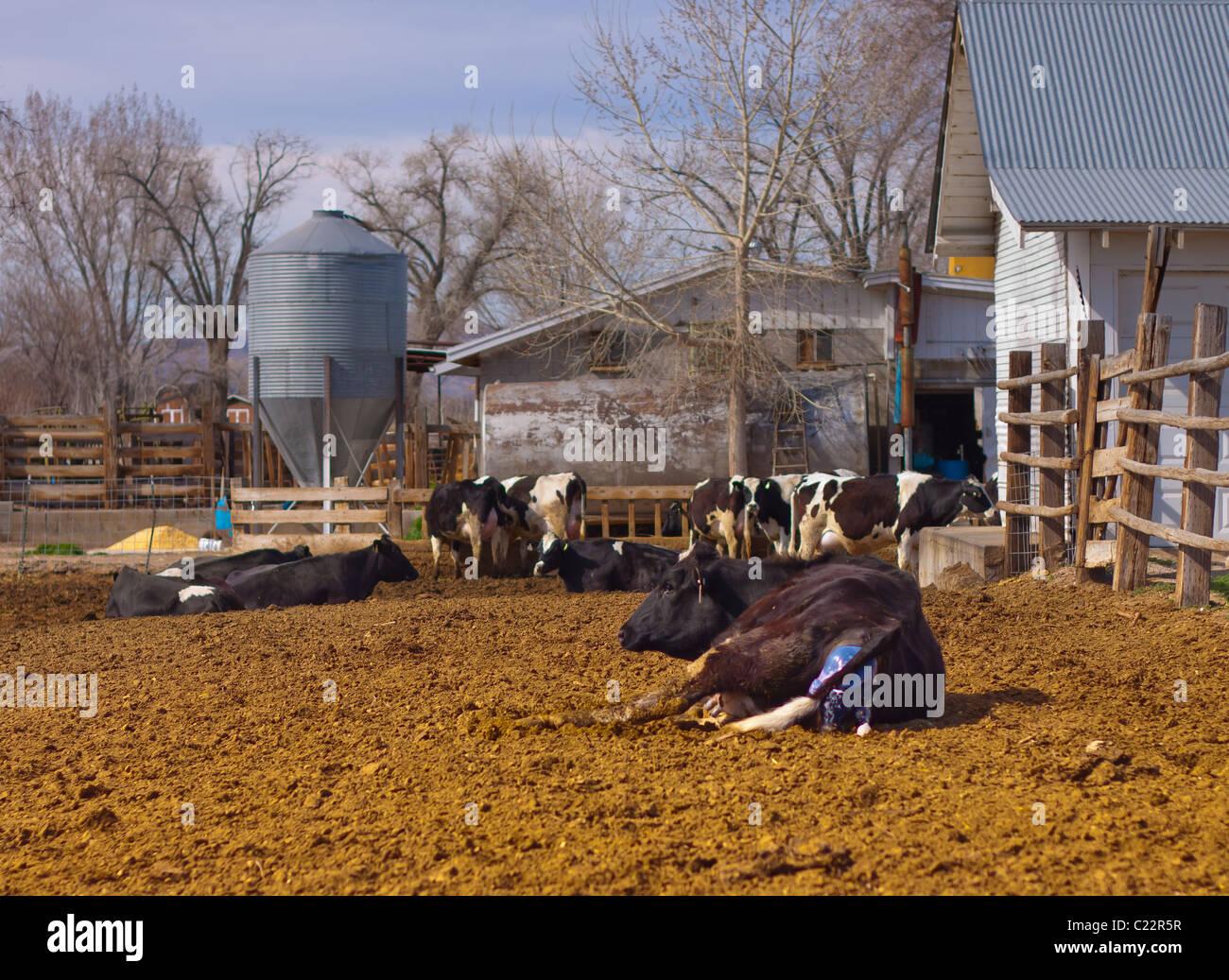 Une vache est passé en travail, et commence à donner naissance à la progéniture. Banque D'Images