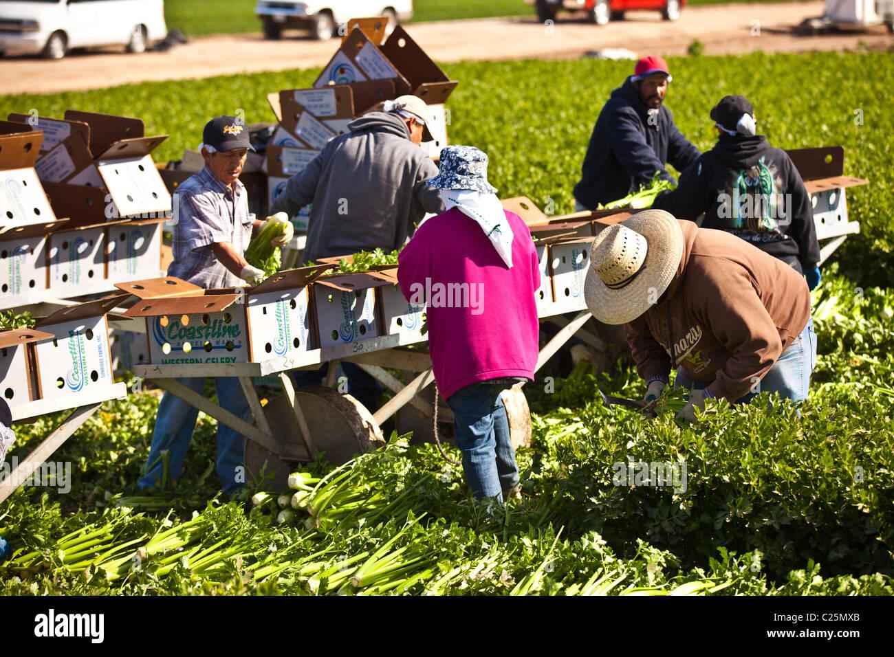 Les travailleurs de l'agriculture mexicaine dans le céleri récolte Imperial Valley Niland, CA. Photo Stock