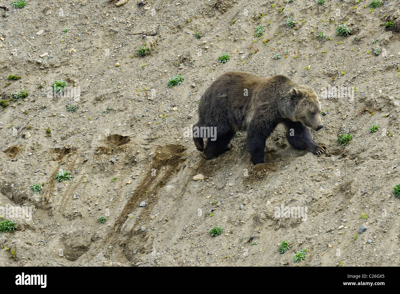 Grizzly traversant une pente de sable dans le Parc National de Yellowstone. Photo Stock