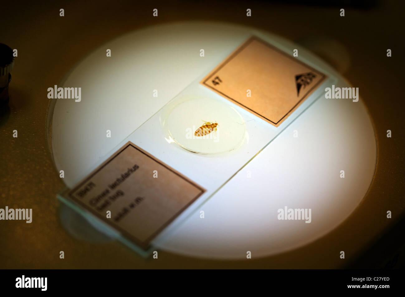 Boîte de Pétri contenant un insecte sous un microscope dans un laboratoire Photo Stock