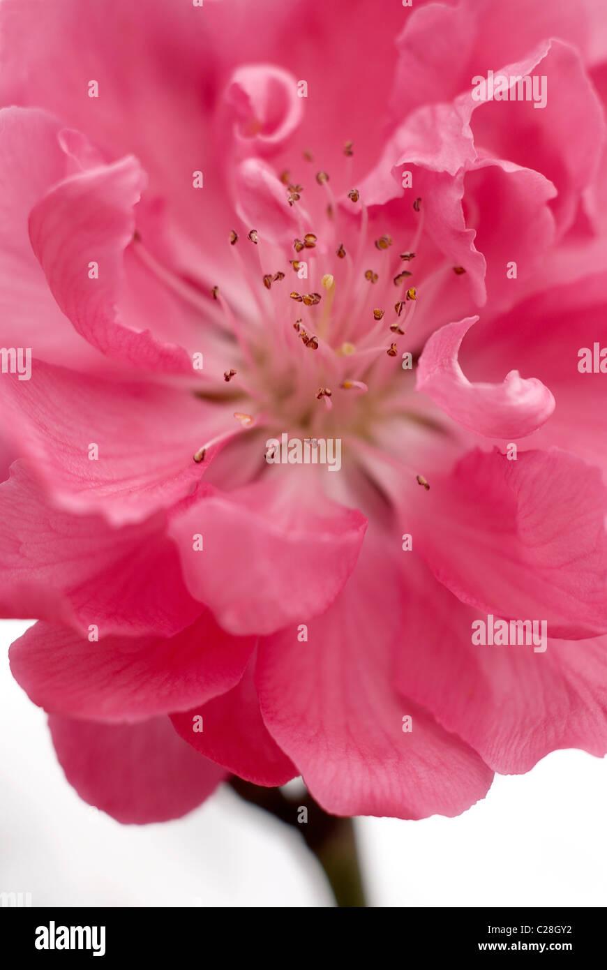 Pêchers en fleurs ornementales Photo Stock