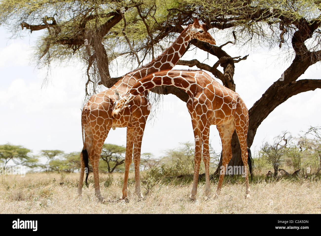 Deux girafes réticulée debout ensemble dans la réserve nationale de Samburu, Kenya Banque D'Images