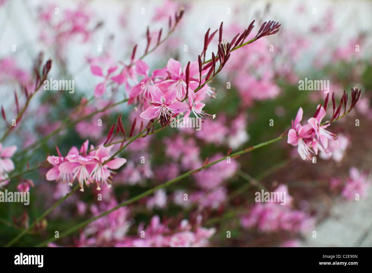 Fleurs roses utilisés en aménagement paysager à Rosemary Beach, en Floride. Photo Stock
