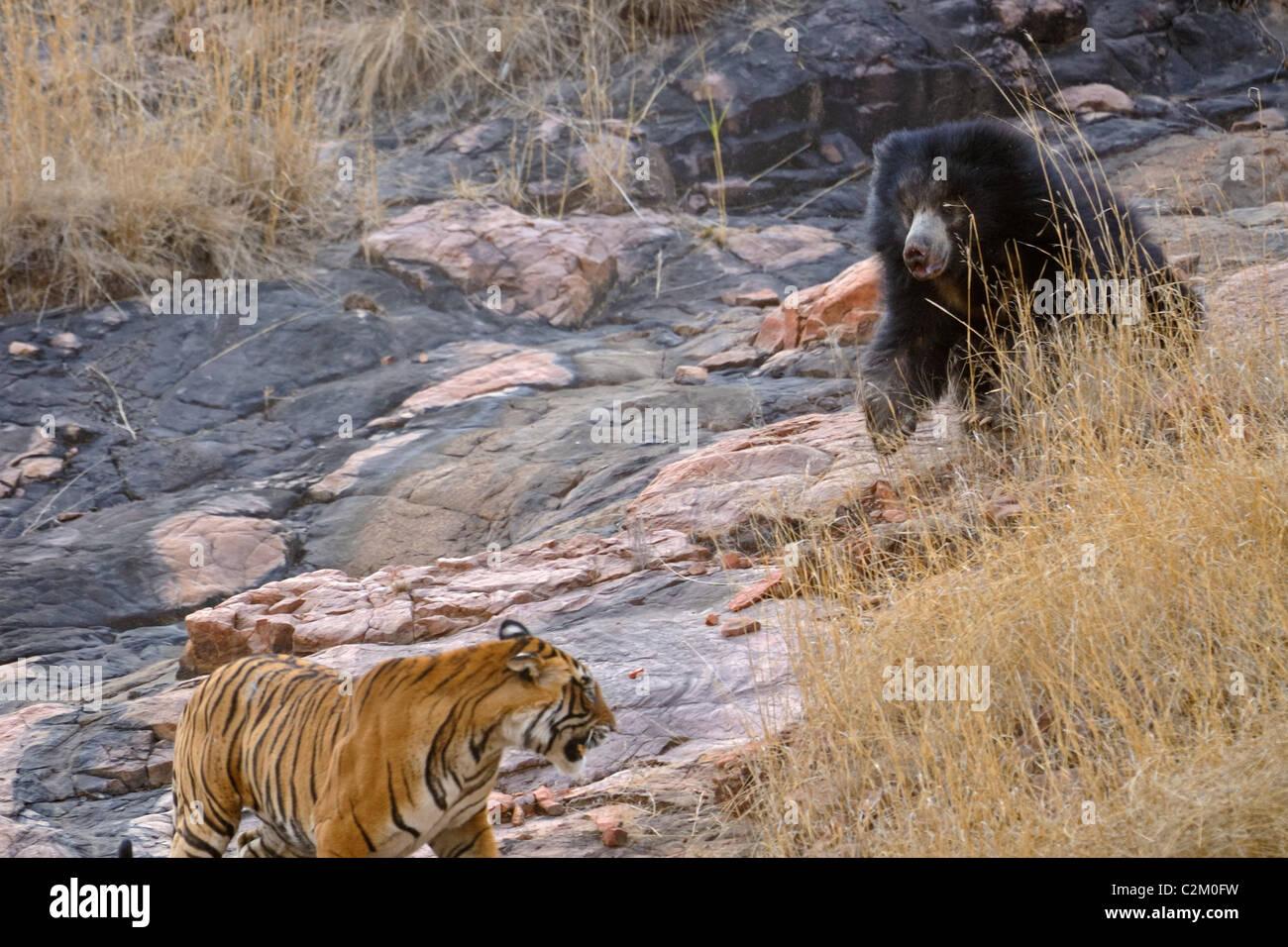 Mère ours avec deux oursons sur son dos combat un tigres sauvages dans le parc national de Ranthambhore, Inde Photo Stock