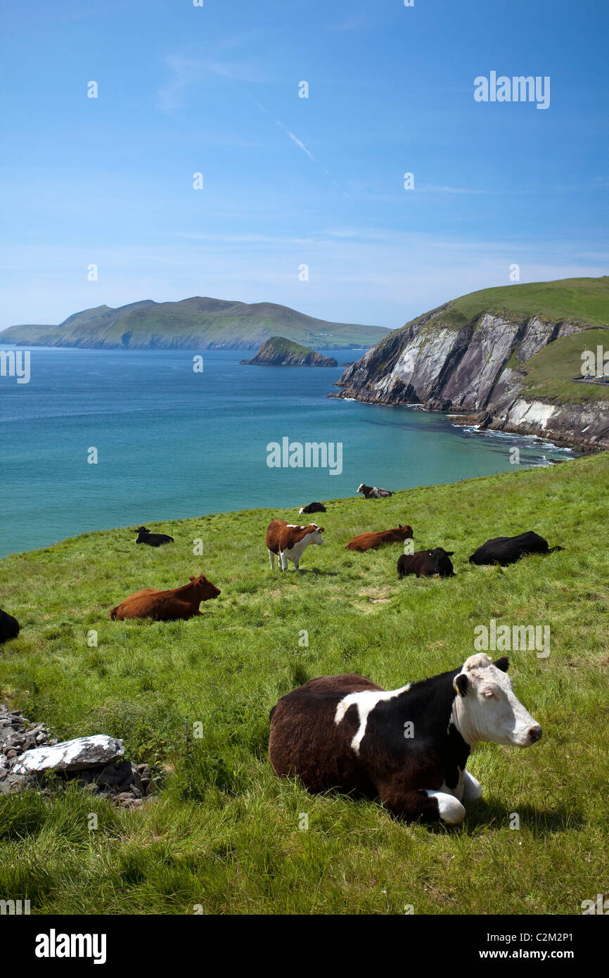 Vaches se reposant au-dessus de la baie de Coumeenoole, péninsule de Dingle, comté de Kerry, Irlande. Photo Stock