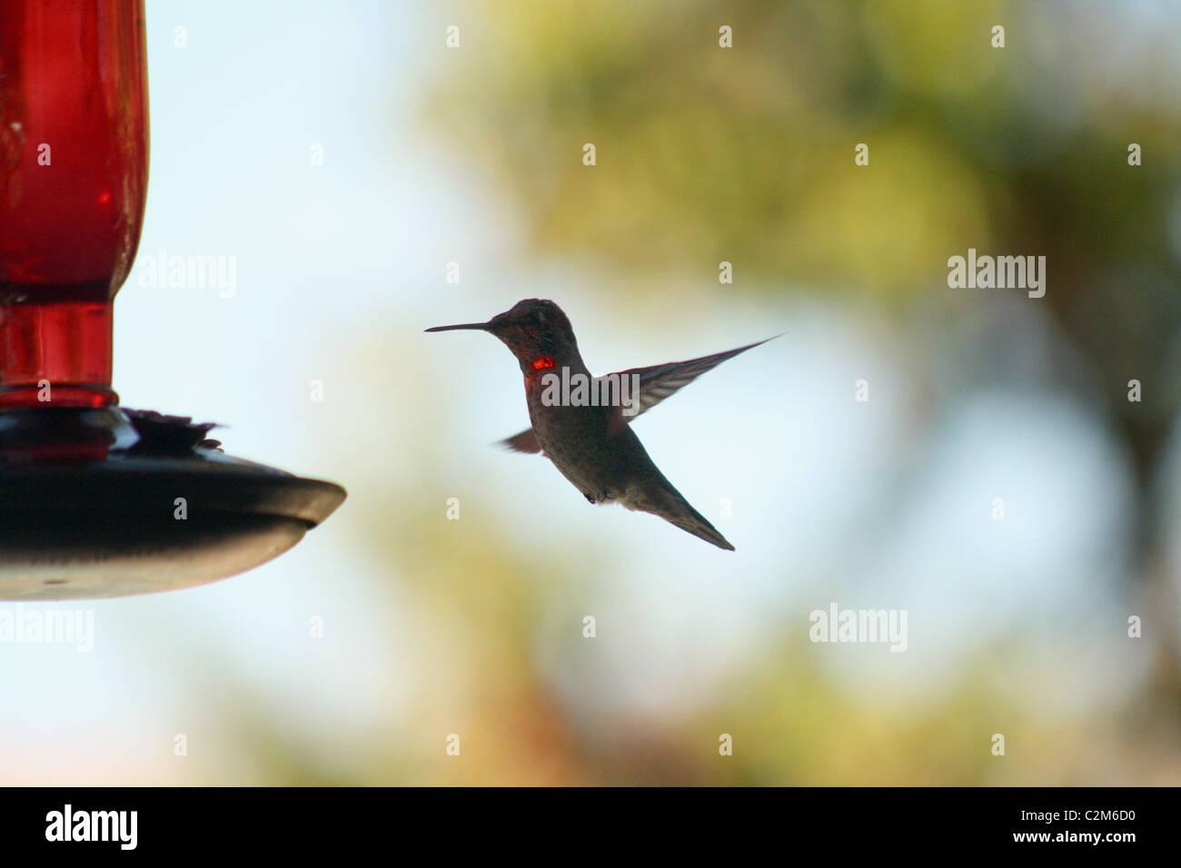 HUMMING BIRD AGOURA HILLS USA 10 décembre 2010 Photo Stock