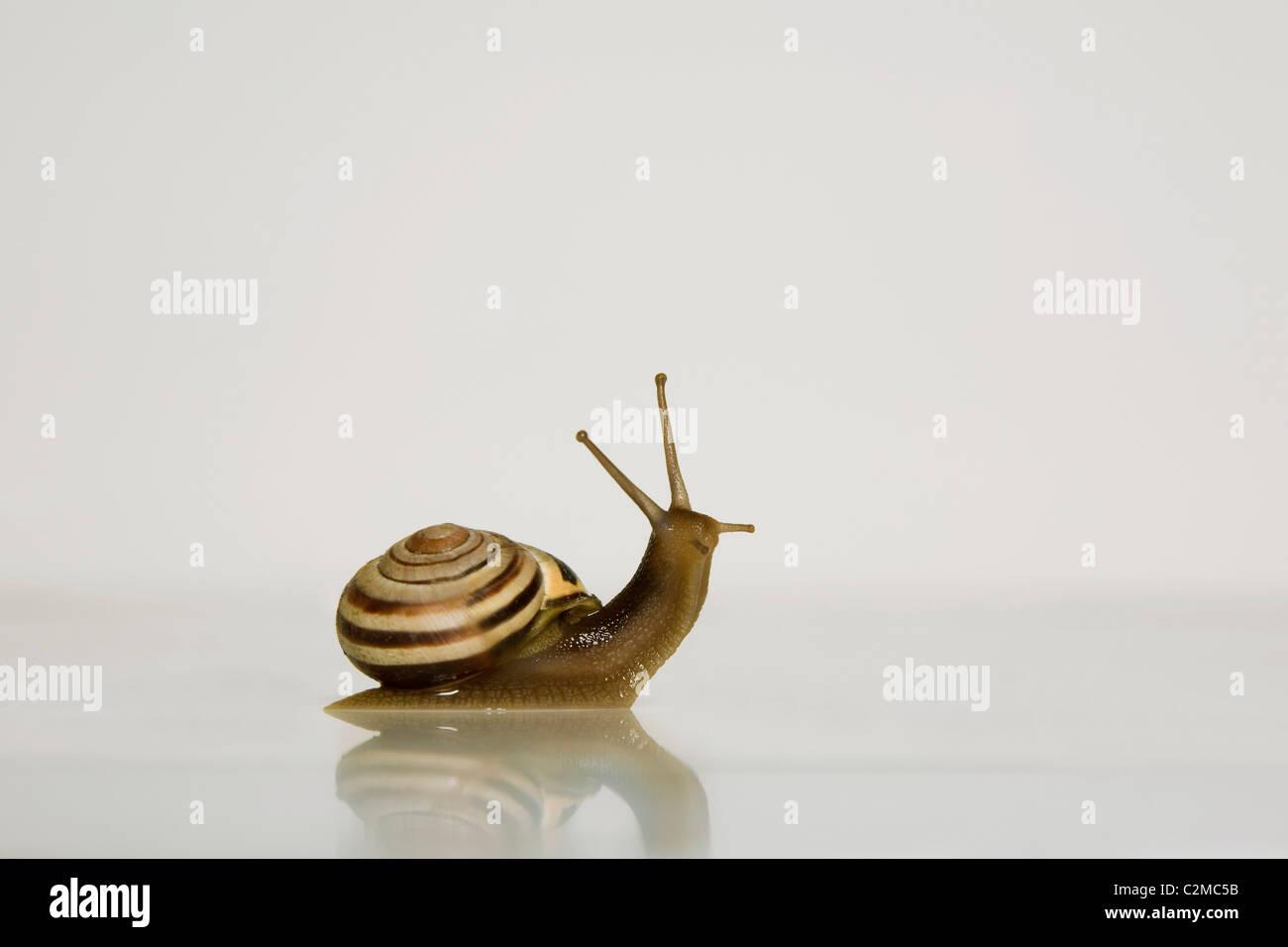 Escargot de jardin Photo Stock