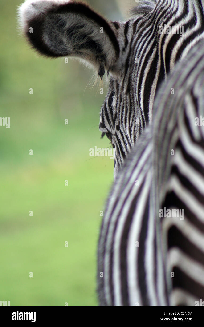 Burchell Zebra à West Midlands Safari Park, Angleterre, Royaume-Uni Photo Stock