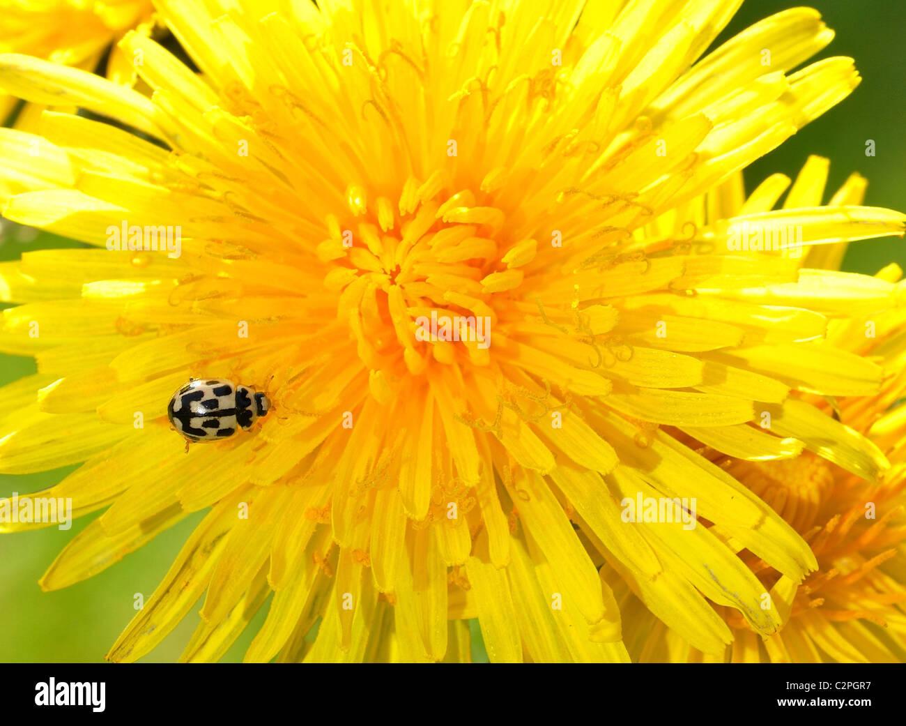 Spot Ladybird sur quatorze têtes de Pissenlit Photo Stock