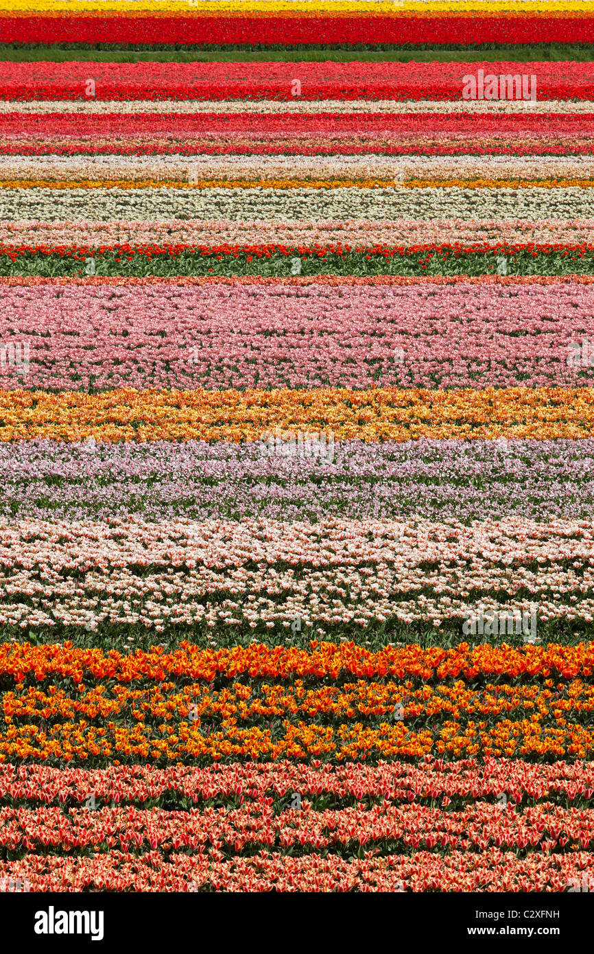 Dutch champs de tulipes en pleine floraison à côté du jardin de Keukenhof à Lisse, en Hollande, Photo Stock