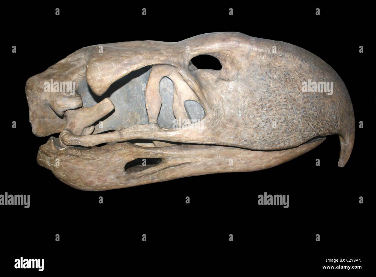 Cast de Phorusrhacos crâne - une espèce d'oiseaux de la terreur qui vivait en Patagonie Banque D'Images