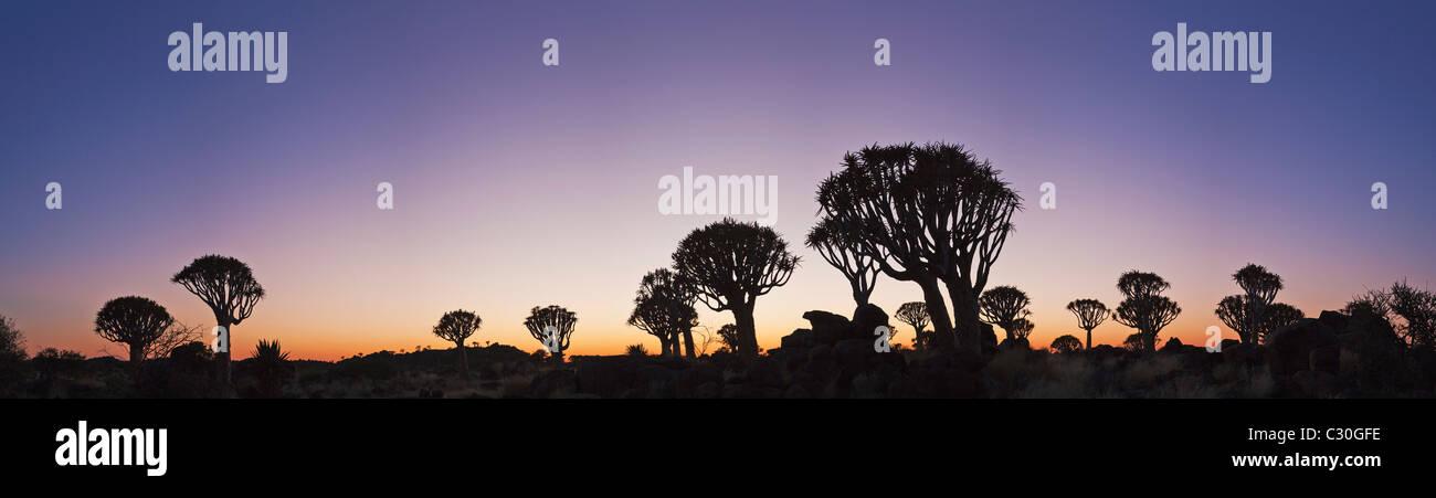 Vue panoramique d'un arbre ou carquois Kokerboom (Aloe dichotoma) est une espèce d'aloès originaire d'Afrique du Sud et la Namibie Banque D'Images