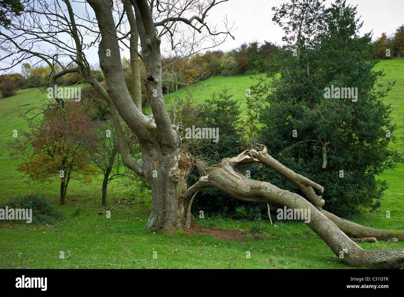 Frêne antique endommagées dans les Cotswolds, Royaume-Uni Photo Stock