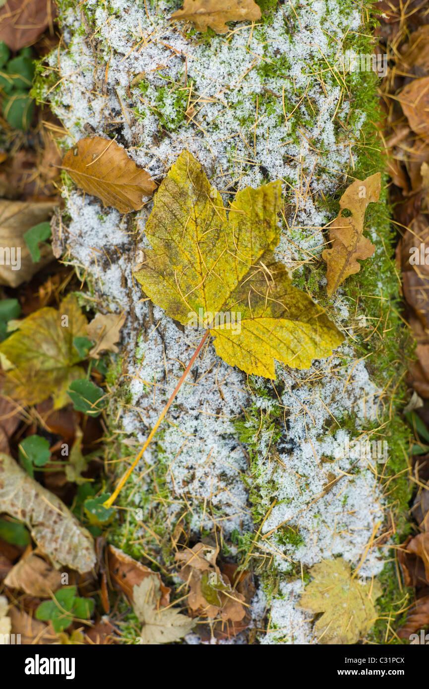 Sycomore, chêne et hêtre feuilles sur le sol glacial, les Cotswolds, Royaume-Uni Banque D'Images