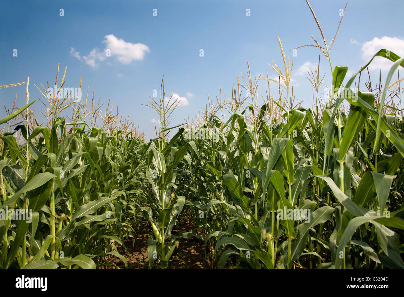 Le maïs et le ciel - été Photo Stock