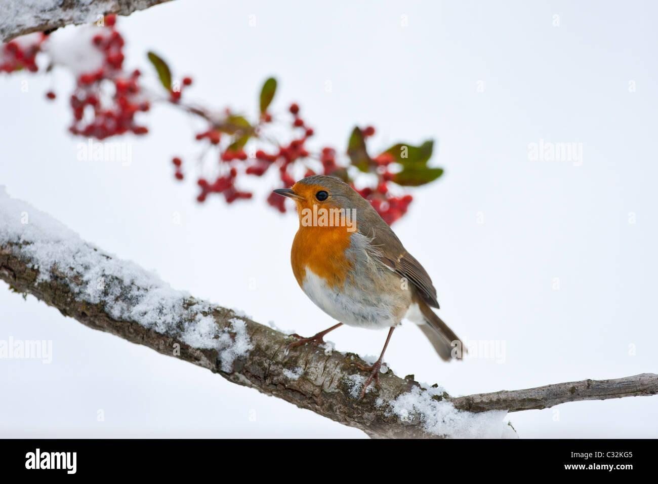 Robin perchoirs par pente enneigée et petits fruits de saison, en hiver, dans les Cotswolds, Royaume-Uni Banque D'Images