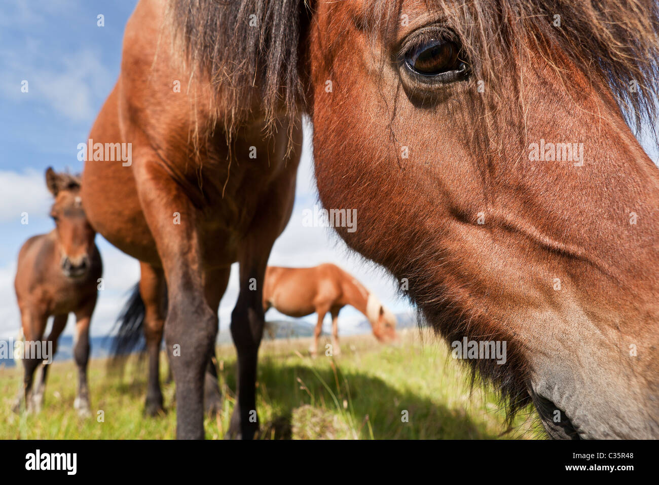 Chevaux Islandais, Islande Photo Stock