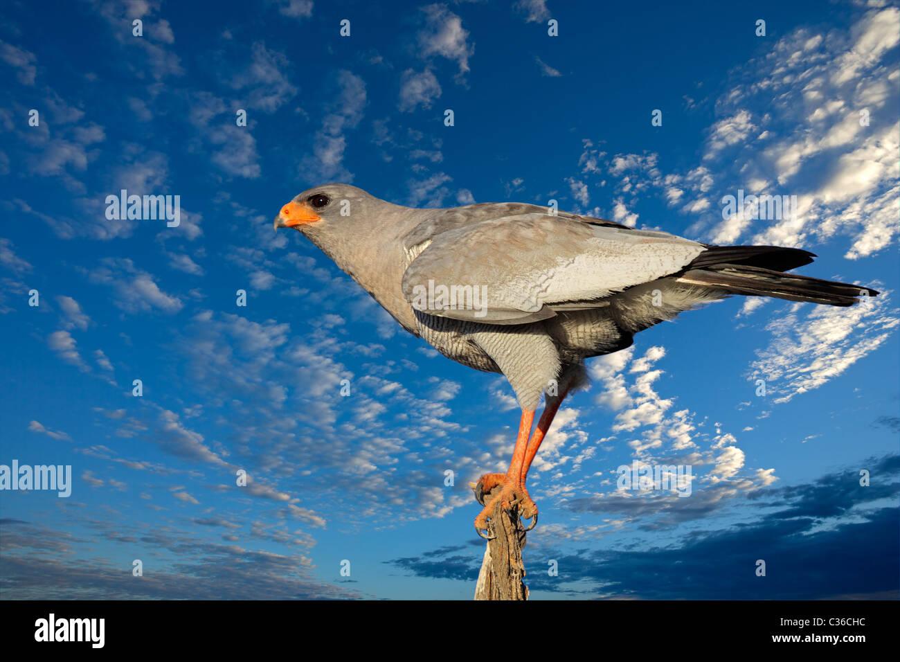 Chant pâle autour des palombes (Melierax canorus) contre un ciel bleu avec des nuages, Afrique du Sud Photo Stock